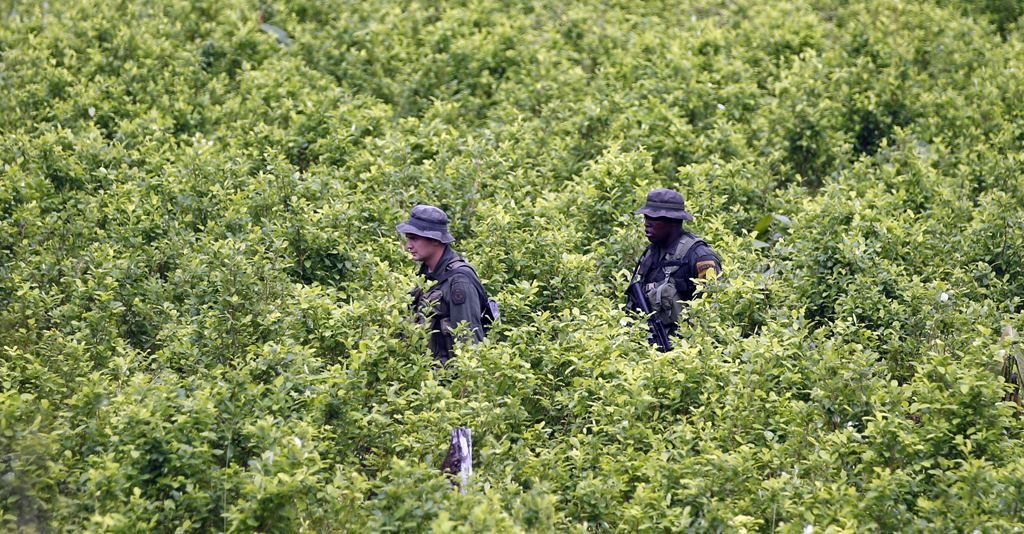Colombian police walk through a coca field