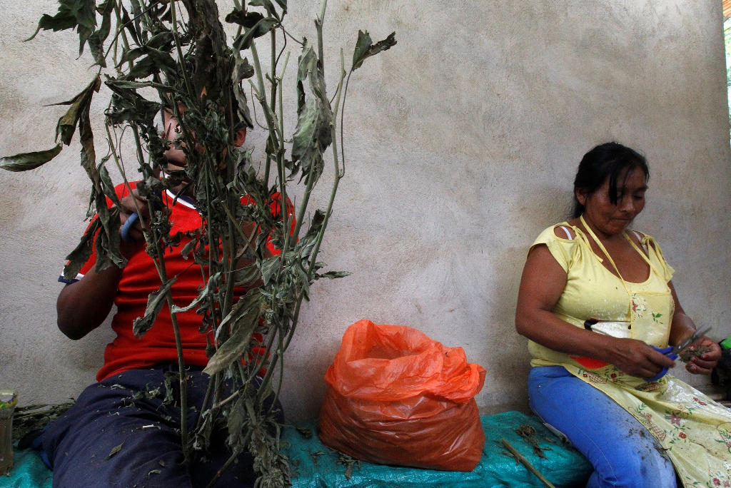 Mari Teteche, 42, right, cuts a marijuana plant grown in the mountains of Tacueyo, Cauca, Colombia, February 10, 2016.REUTERS /Jaime Saldarriaga